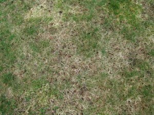 Leatherjacket damage to lawn